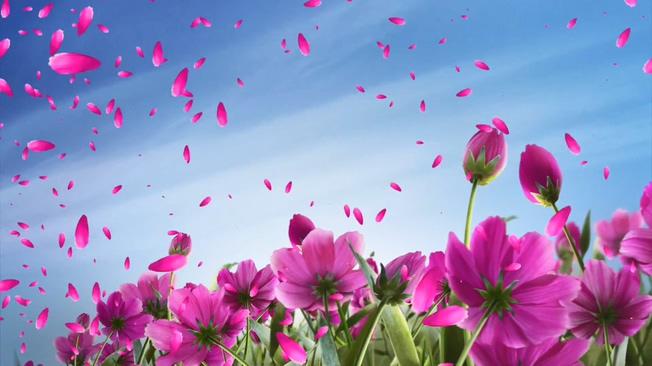 粉色飘落花瓣背景视频素材