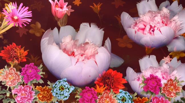 牡丹花开背景视频素材
