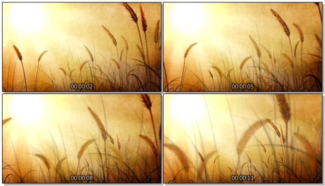金色夕阳下的狗尾巴草背景视频素材