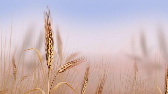 简洁麦穗背景视频素材