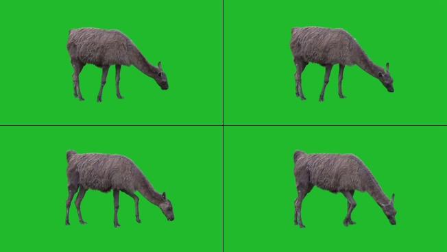温顺乖巧的绵羊在吃草的视频素材