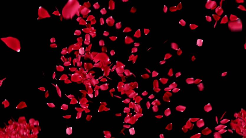 抛起又落下的玫瑰花瓣可抠像视频素材