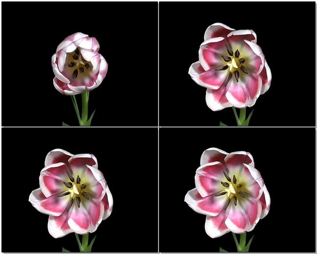 鲜花夜晚盛开的记录视频素材带通道可抠像