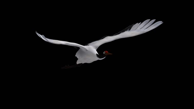 360度飞鹤翱翔视频素材(带通道 可循环)
