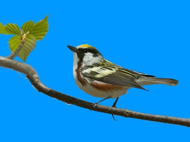 画眉鸟叫声视频素材带蓝色通道可抠图像