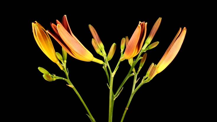 记录鲜花盛开的视频素材(带通道)