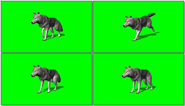 狼视频素材带绿色通道可视频抠像