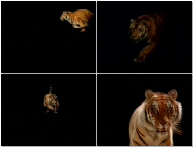 老虎奔跑的背景视频素材带通道可视频抠像