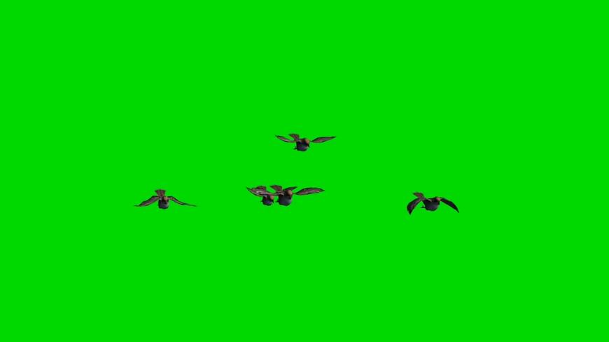 小鸟从远处飞来的视频素材带绿色通道可抠图像