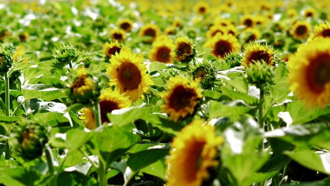 唯美的向日葵在阳光中随风飘荡的实拍视频