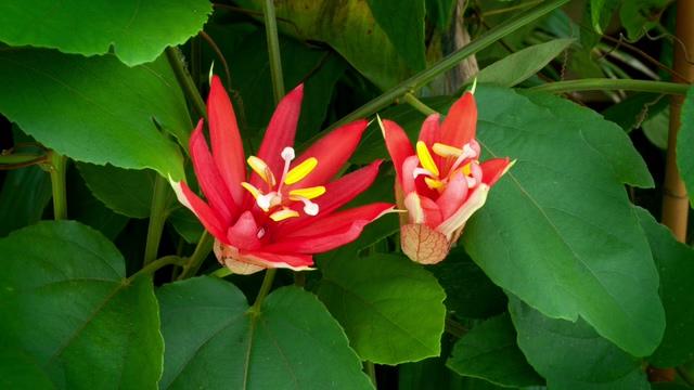 火红色花朵盛开的实拍视频