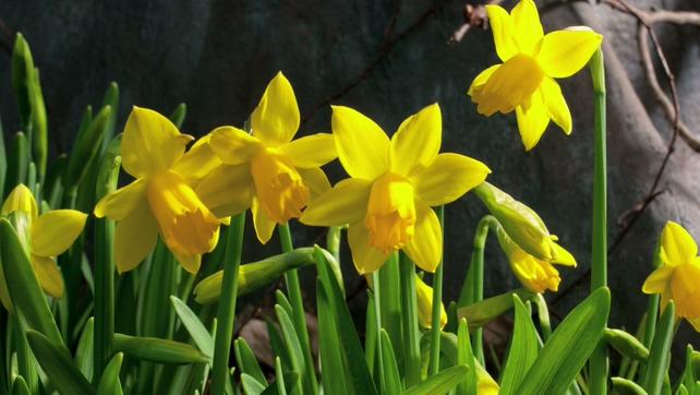 黄色花朵盛开过程实拍视频
