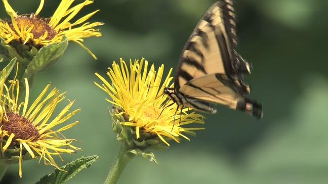 蝴蝶在黄色花朵上停留的实拍视频